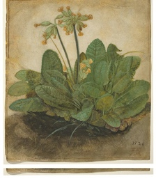 Tuft-of-Cowslips-by-Durer-004